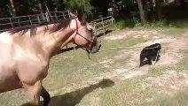 Ce chien emmène un cheval en balade par la laisse !