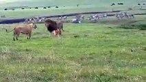 Un chien s'en prend à des lions en pleine savane... Courageux ou inconscient