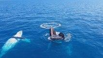 Une baleine à bosse fait un sourire à des touristes