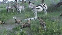 Confrontos Entre Zebras E Cães Selvagens