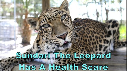 Leopard Gives Us A Scare