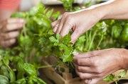 Les Experts Jardin: Mes semis de persil attrapent la rouille