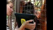 Orangutans Use iPads