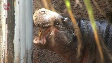 Adorable Baby Pygmy Hippo