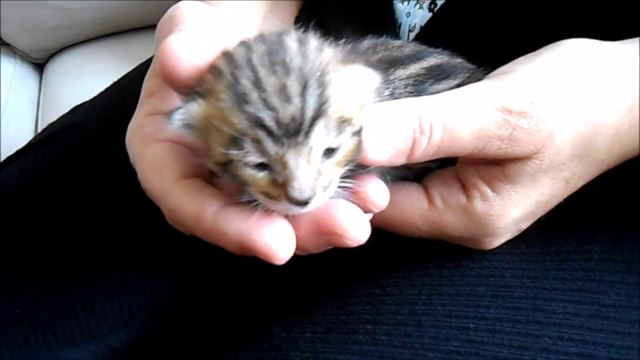 Cute Little Bengal Kitten of 12 Days