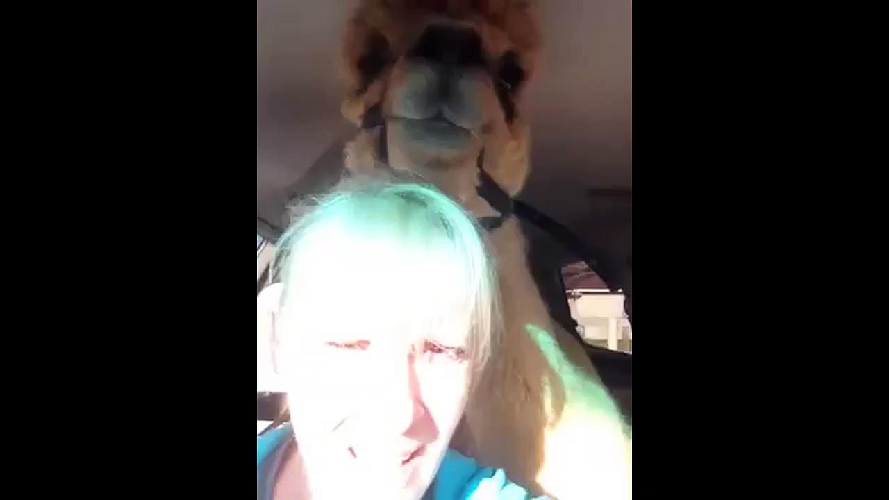 Alpaca dislikes riding in a van