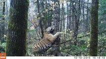 Les images incroyables de ce tigre sauvage filmé dans les forêts de Sibérie