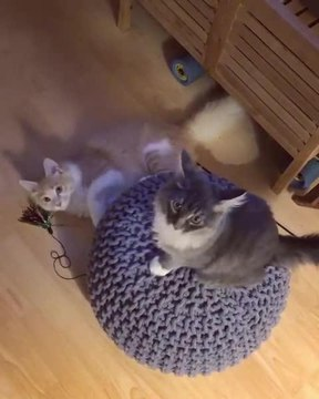 Cat Spins Other Cat Around on Round Pillow