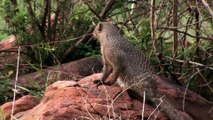 King Cobra Big Battle In The Desert Mongoose and the
