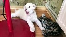 Un bébé lion blanc et un bébé jaguar jouent ensemble... Adorable