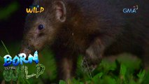 Born to Be Wild: The life of Palawan stink badger