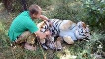 Ce soigneur vient caresser une maman tigre et ses bébés... Incroyable