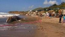 Une baleine grise échouée à Malibu