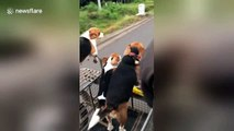 Let's go for a ride! Beagles love to hop in their owner's motorbike sidecar