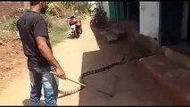 Rescuers surprised as king cobra found in house spits out monitor lizard