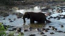 Quand un hippopotame s'amuse à embêter un éléphant en lui mordant la queue !