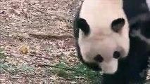 Nouvel enclos pour les adorables pandas du zoo de Washington
