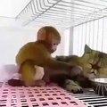 Ce singe joue avec un chat. A mourir de rire !