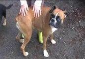 Encuentran en Galicia perros usados en peleas