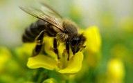 Les abeilles, officiellement en voie de disparition