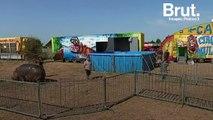 Le cirque Muller accusé de maltraitance envers son hippopotame Jumbo