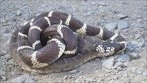 Un touriste tombe sur le combat entre un serpent à sonnette et un cobra royal... Impressionnant