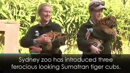 Adorable endangered tiger cubs make public debut