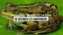 Une terrible maladie décime les amphibiens