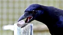 The Incredible Intelligence of Crows - Full Documentary