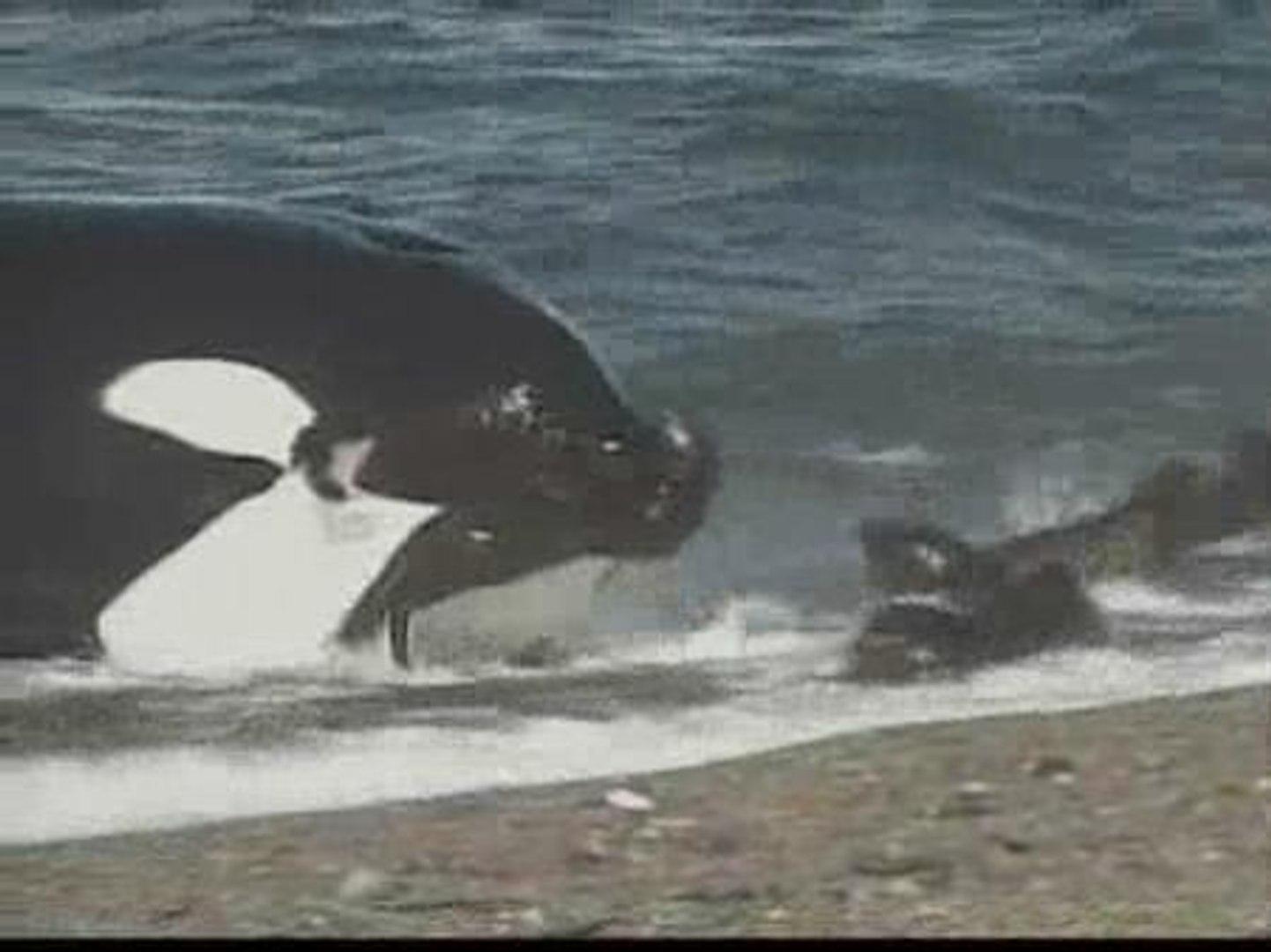 La peculiar técnica de caza de las orcas de la Patagonia