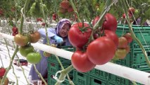 Teknolojik serada üretilen domatesler Avrupa'ya satılıyor - AFYONKARAHİSAR
