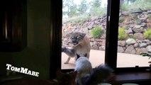 Ce chat veut aller jouer avec un puma... Courageux