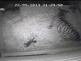 Nace un cachorro de tigre sumatra en el zoológico de Londres