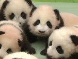 Nuevas imagenes de los pandas de Sichuan