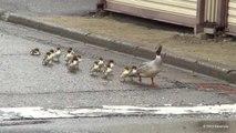 Suivez cette famille de canard de la ville jusque à la rivière...Tellement mignon