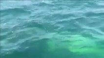 Una familia chilena libera a una ballena jorobada atrapada en una red de pesca