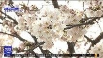 [스마트 리빙] 벚나무 가지 꺾으면 과태료 10만 원