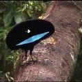 Cet oiseau de paradis est spectaculaire. Admirez sa beauté !