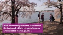 Peak Bloom Is Next Week for Cherry Blossoms in Washington, D.C.