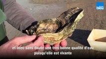 Une huître oubliée pendant 30 ans dans un parc ostréicole en Vendée