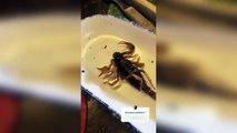 Lizbeth Rodriguez comiendo escorpiones?