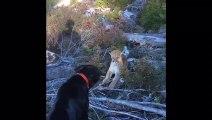 Loyal Lab Fends off Ferocious Cougar