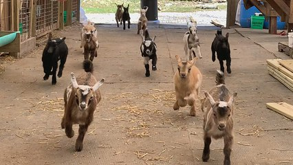 Adorable Baby Goat Stampede