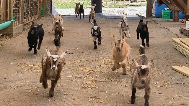 Adorable Baby Goat Stampede