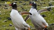 Real Life Happy Feet Penguins