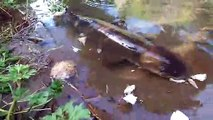 Une énorme anguille vient manger en bord de rivière... Pas peureuse