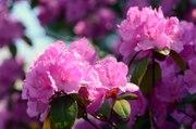 Les Experts Jardin : Peut-on planter des rhododendrons à 1000 mètres d'altitude
