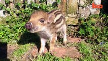 Piggy dans le Milieu: Couple Vivre Avec un Énorme Sanglier | {Extreme}