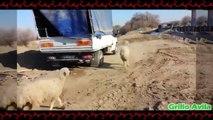 Ovejas Desquiciadas - Cabras y Ovejas Locas