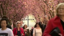 Watch: Bonn in bloom as cherry trees bring tourists flocking